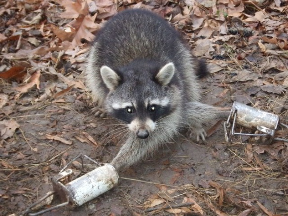 racoon trap